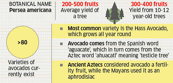 interesting facts about avocado you didn t know the economic times rh economictimes indiatimes com