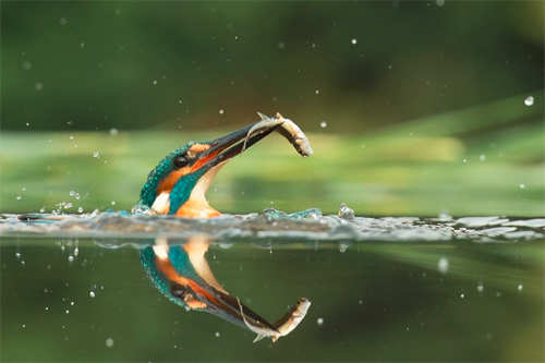 Kingfisher After Years Attempts Wildlife - Man finally captures the perfect kingfisher photo after 6 years and 720000 attempts