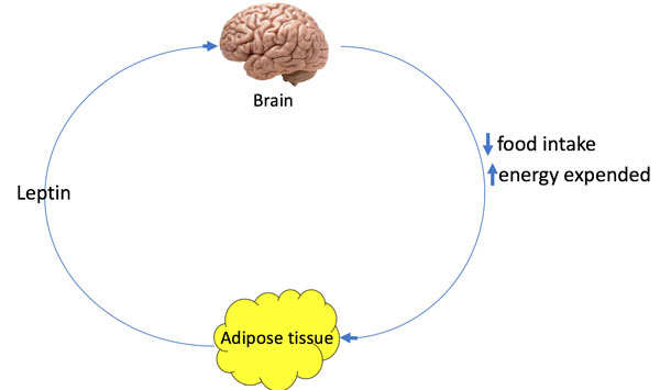 Leptin: Your brain's superhero that keeps you full and controls weight loss