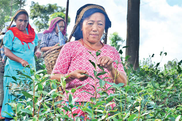 Four months post Gorkhaland agitation, Darjeeling's tea gardens still reeling from trouble
