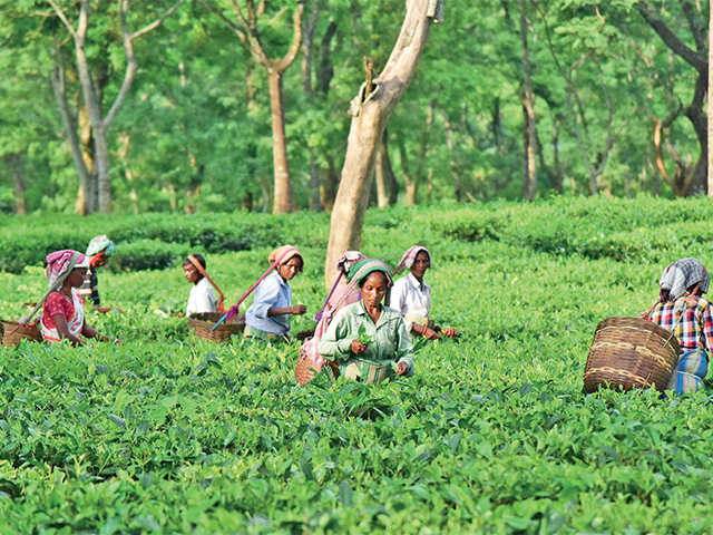 Assam govt's move to regularise landholdings can improve the fortunes of small tea growers