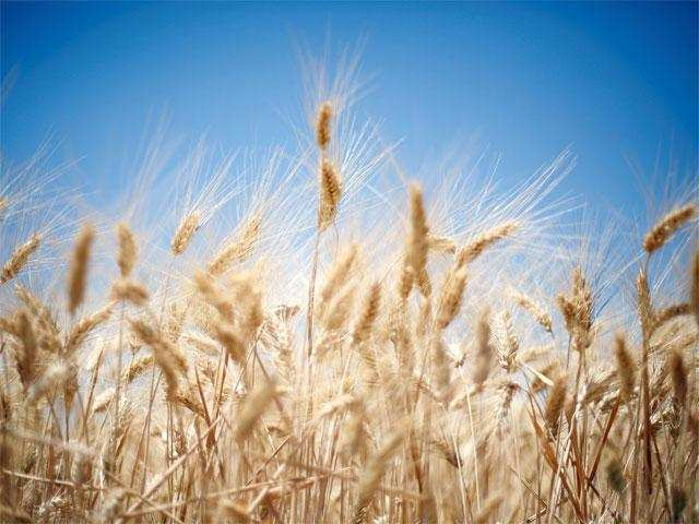 Wheat acreage likely to be better than last year with better water availability thumbnail
