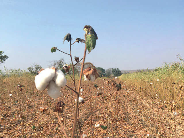 These two issues could put brakes on the Bt cotton story