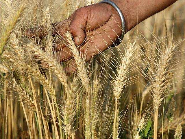 Wheat Output likely to hit 100 million tonnes this year thumbnail