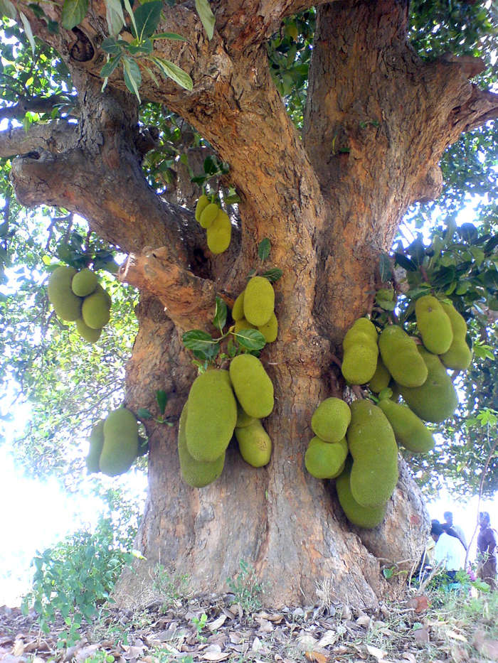 Kerala gets an official fruit - jackfruit