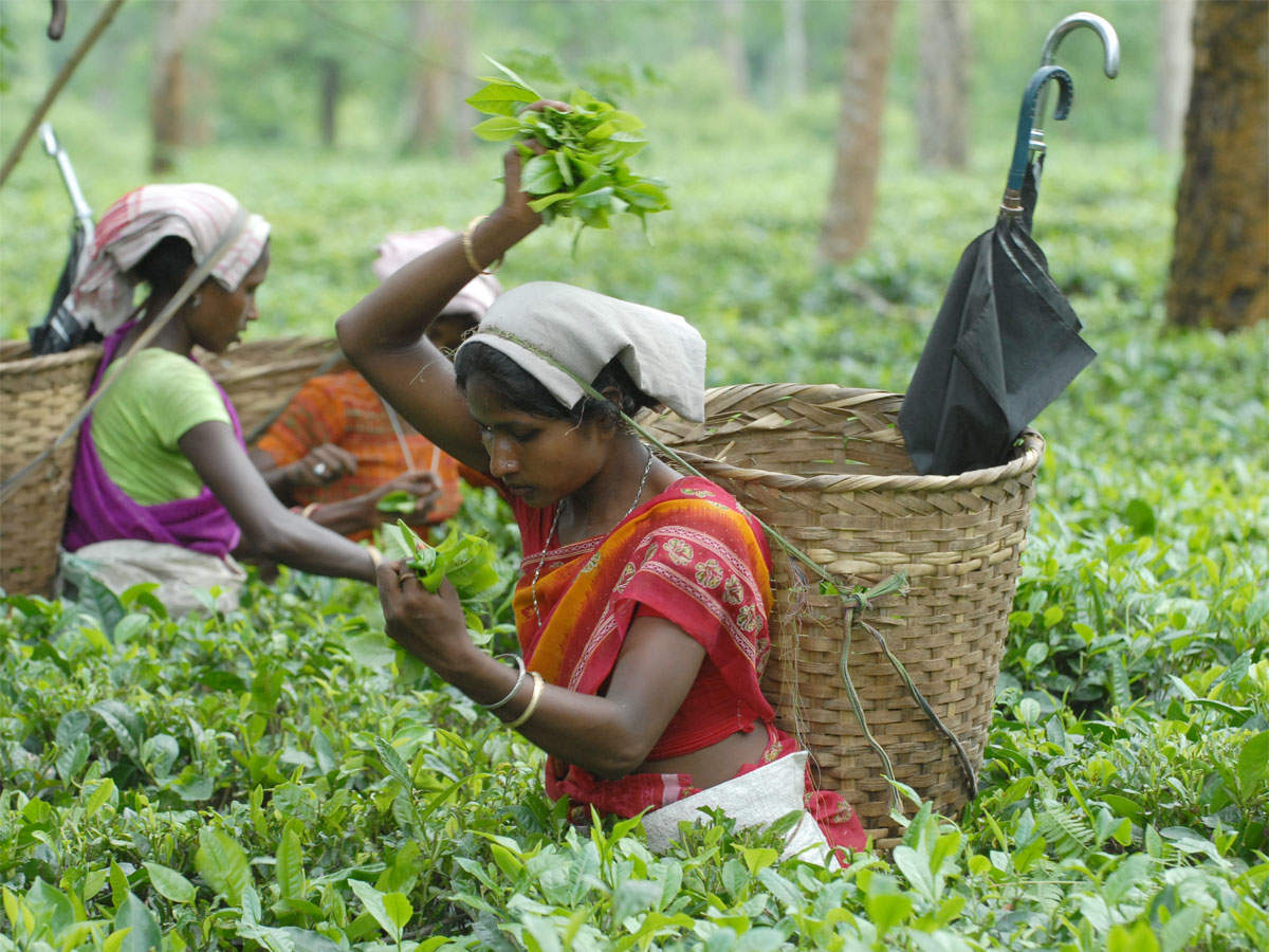 worlds primary tea producer - HD1200×900