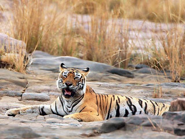 TigerRanthambore