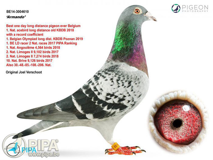Armando Meet Armando The Belgian Star Pigeon That Fetched Over 1 4 Mn At Auction The Economic Times