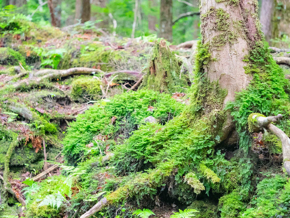Mount Fiji-Aokigahara forest_GettyImages