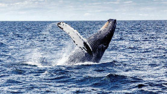 Whale watching near Provincetown