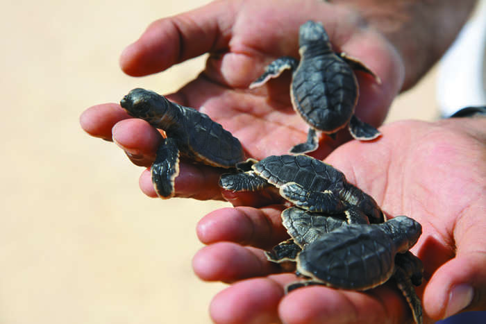 One of Oman's five turtle-hatching nesting sites is in Shangri-La Barr Al Jissah Resort & Spa, which takes place between April and August every year.