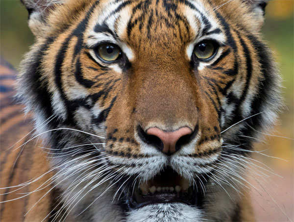 Nadia, a 4-year-old female Malayan tiger at the Bronx Zoo, had tested positive for coronavirus disease.