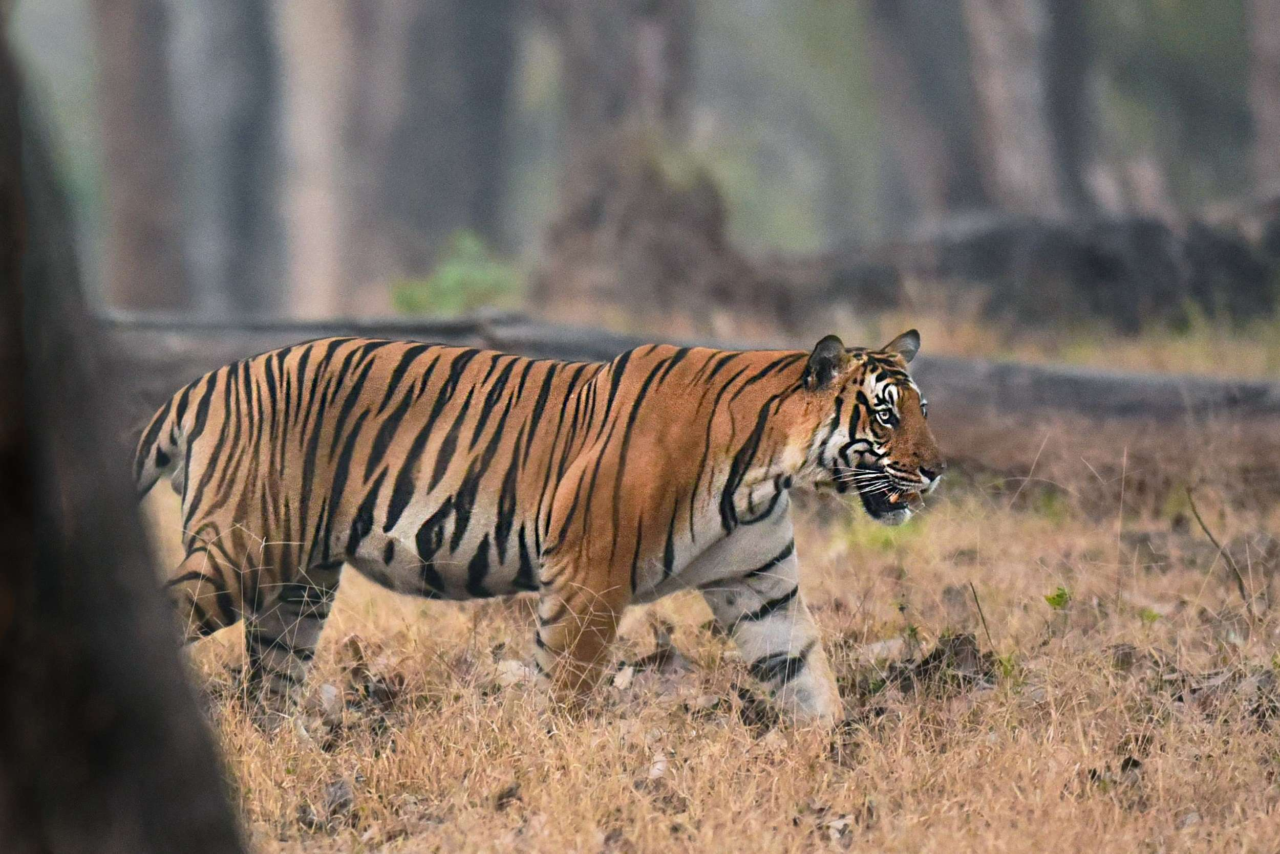 Apart from the usual tiger and leopard pictures, Kulkarni processed some very interesting pictures of other jungle inhabitants like the langur, the deer, etc.