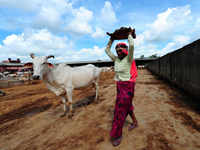 India finds an unlikely saviour in the cow
