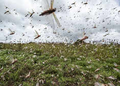 Rajasthan: Aerial spraying of pesticides was conducted by helicopter in Jodhpur's Kerlanada as a locust control operation