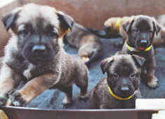 Malinois pups begin formal journey to find a place in ITBP's combat K9 wing