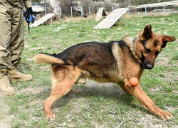 Meet the dogs who sniff out explosives in Kabul