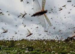 Watch: Swarms of locusts enter Jaipur residential areas