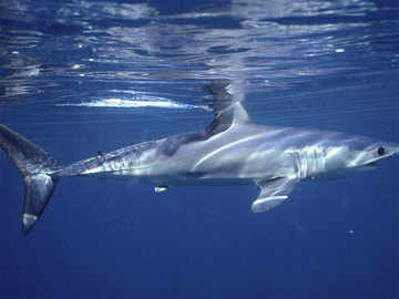 Dramatic shark decline leaves 'gaping hole' in ocean: Study