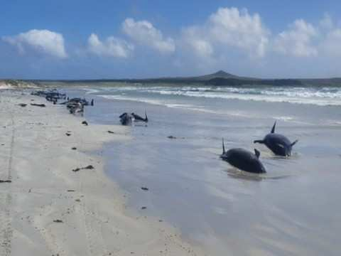 Dozens of whales strand at notorious New Zealand bay