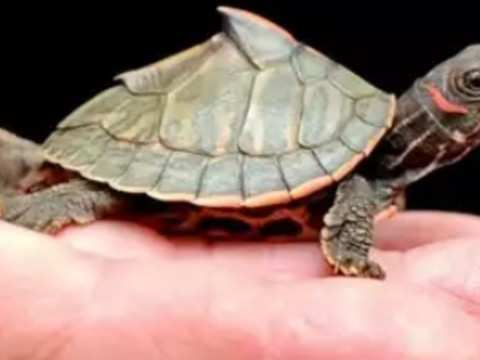 Give 'em shell: turtles stick neck out for Japan rice forecast