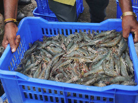 Indian aquaculture shrimp production crosses 5 lakh tonnes