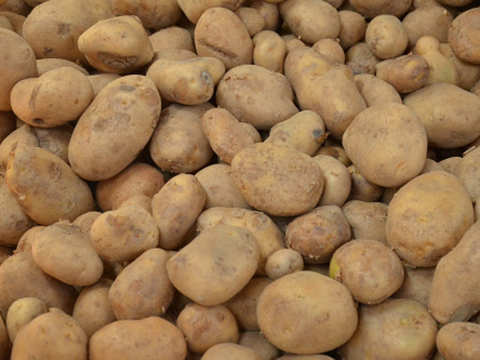 Potato sowing likely to have a decline in northern Bengal