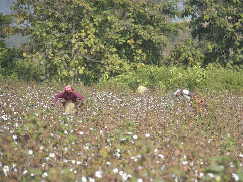 Cotton Association of India cuts 2018-19 production estimate by 3 lakh bales
