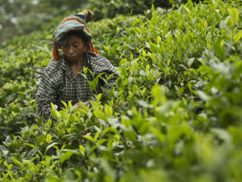 Tea plucking to stop early to curb supply of low-quality product