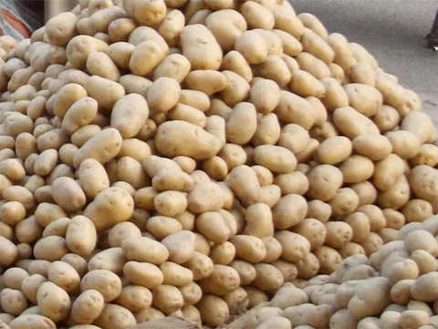Cold storage of potatoes to maintain retail price stability: Experts