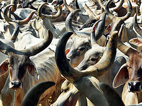India testing a new way to deal with stray cattle: Eliminate male bovine before conception