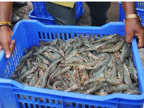 Shrimp production in Odisha hit by cyclone Fani