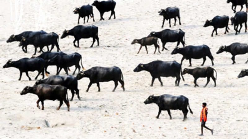 India's livestock population drops by 3.33 per cent