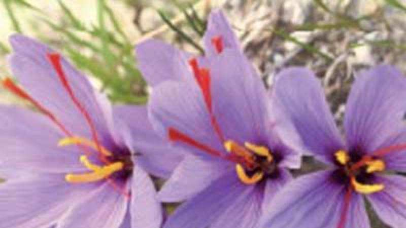 Saffron - The costliest spice on earth is always in hot