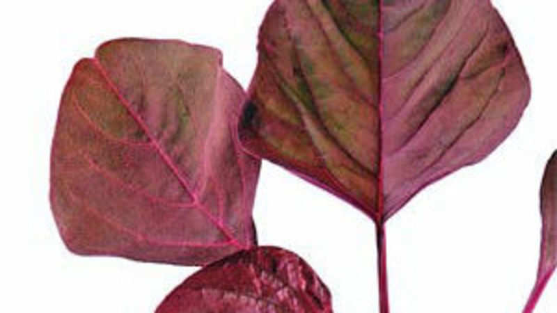 Red spinach is a worthy addition to one's diet - The Economic Times