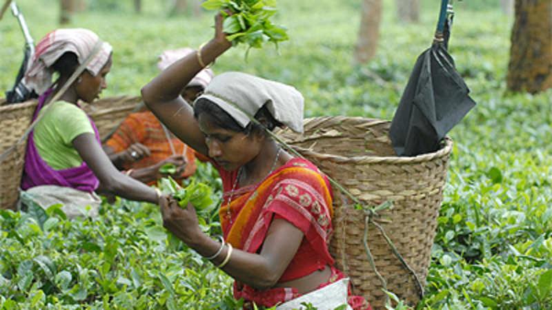 Nepal tea fakes a threat to Darjeeling tea - The Economic Times