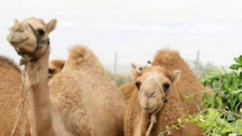 Camels cannot be slaughtered for food: AWBI - The Economic Times