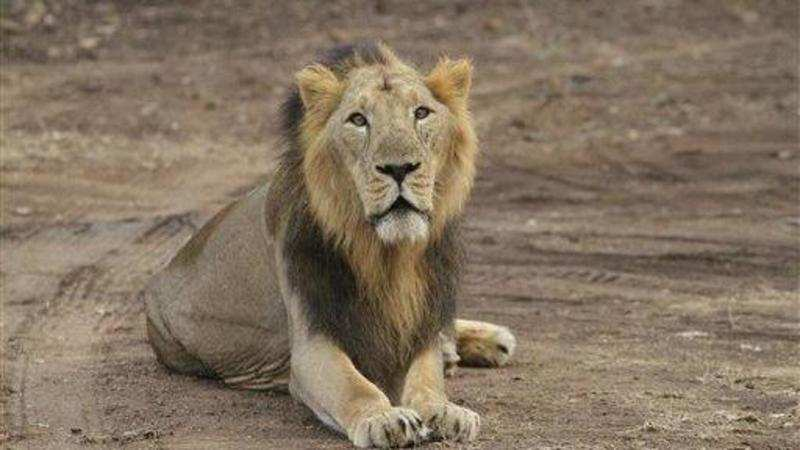Tourists flock to Gir sanctuary on opening day of season