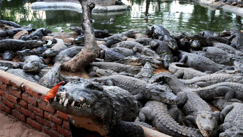 f00d73833f4 Want to buy a crocodile? You could now own one for just Rs 68,000 ...