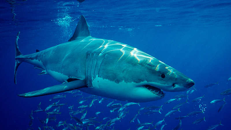 Five facts about shark attacks - The Economic Times