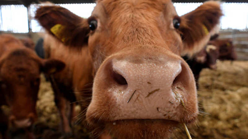 Cow Welfare: Rs 500 crore Allotted for Rashtriya Kamdhenu