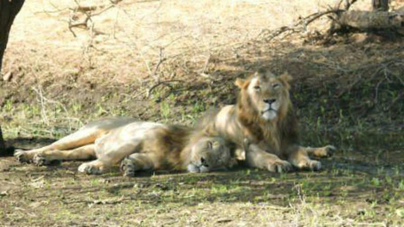 What's in a name: Gir names its lions in a unique way - The