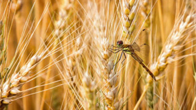 Farmers advised to monitor wheat fields - The Economic Times