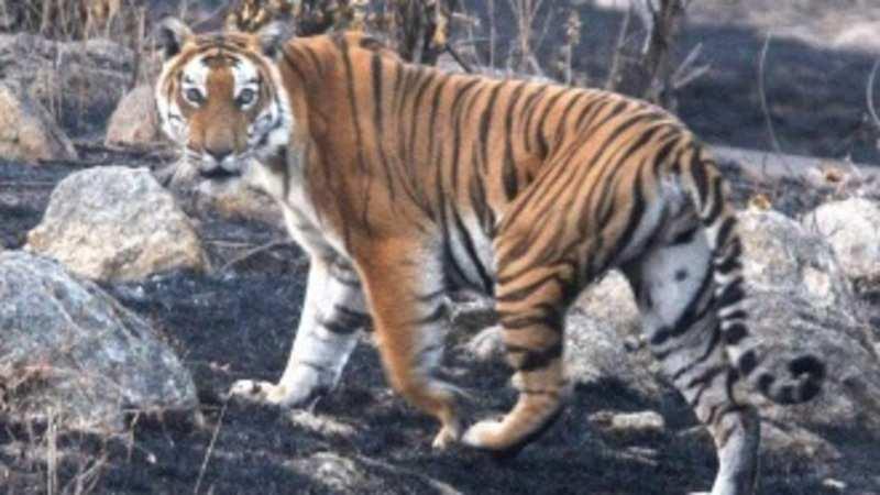 Pug marks of escaped tiger found near Nandankanan safari