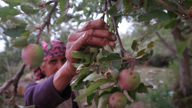 Apples orchards replace tea gardens in lower Himachal Pradesh - The
