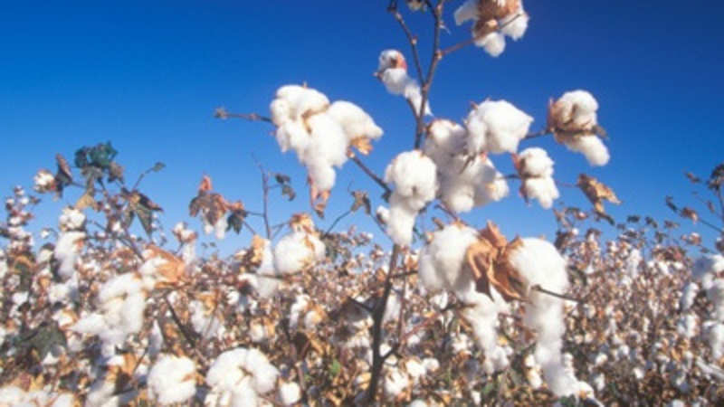 Chinese policy causes a 25% fall in India's April cotton