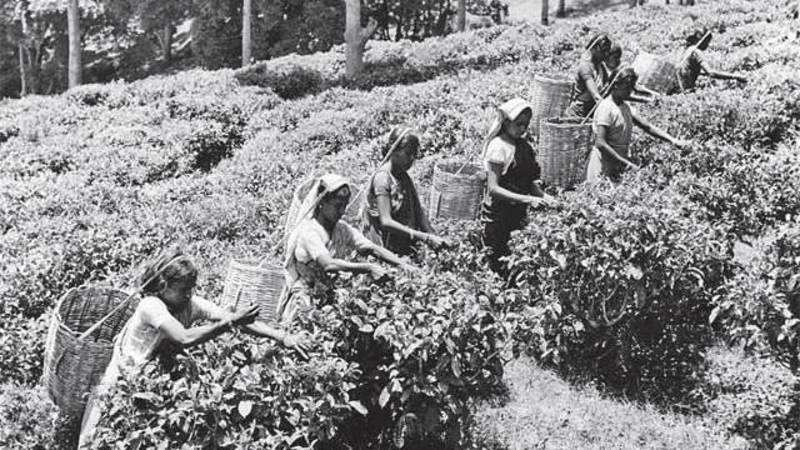Why the world still has craving for tea from plantations on