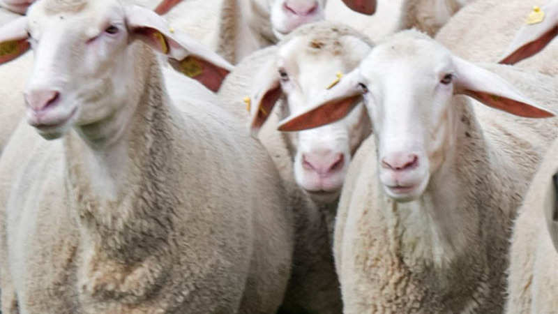 Fabric wool set to be costlier with farmers in Australia