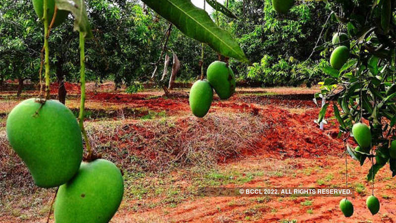 a8ad8a7cd West Bengal plans to export mangoes to Europe - The Economic Times
