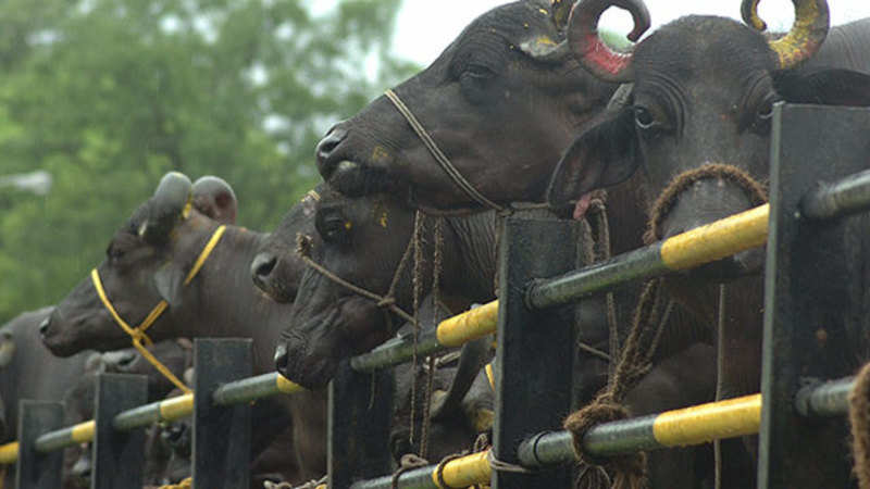 Indian buffalo meat exports may remain flat - The Economic Times